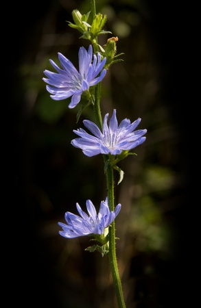 Close up of blue chicory on a summer meadow Stock Photo - 8305038