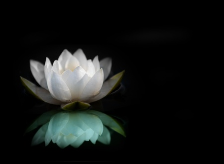 lily pad: White water lily reflected in water, with black background