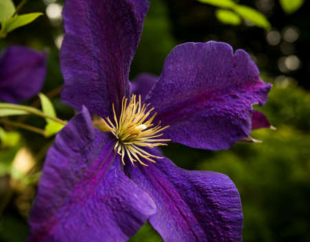 Close up of a purple clematis with green background photo
