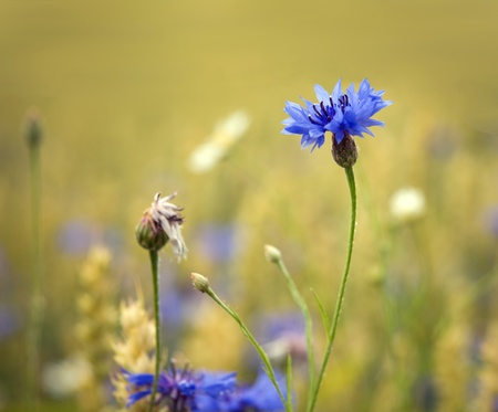 corn flower: Close up of a corn flower in a wheat fileld Stock Photo