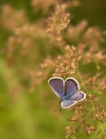 common: Small purple butterfly on grass