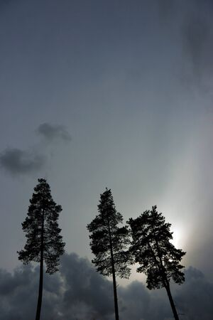pine three: Silhouette of three pine trees against gray moody sky Stock Photo