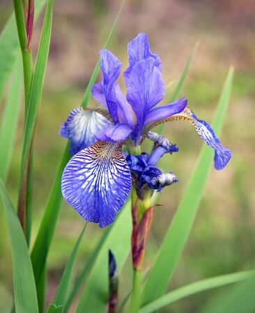 Close-up of purple Siberian iris photo