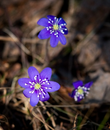 Anemone Hepatica, common flower in Scandinavia in the early spring Stock Photo - 8311527