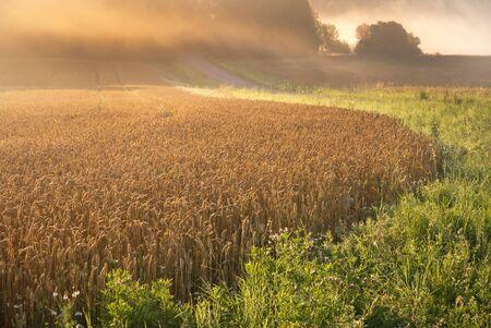 Wheat field in a misty morning photo