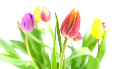 Close-up of red and yellow tulip Stock Photo - 8311507