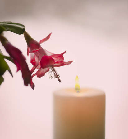blooming christmas cactus with candle in background photo