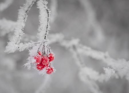 Red berries on twig with hoar frost