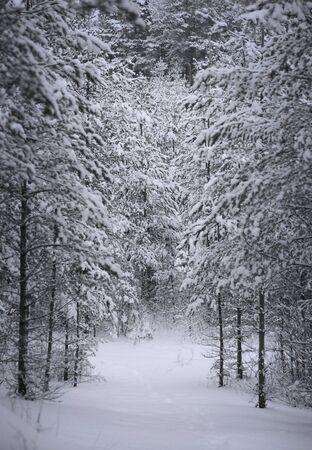 bosque con nieve: Bosque de con�feras cubiertos de nieve