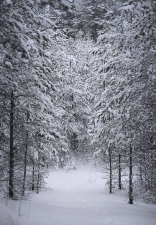 Forest with conifers covered in snow photo
