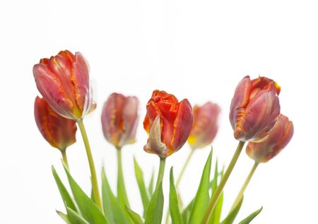 tulip  flower: Close up of a bunch of red and yellow tulips isolated on white Stock Photo
