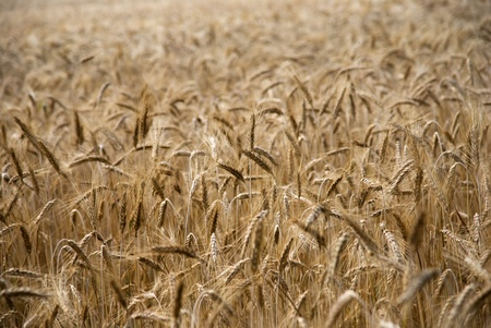 Wheat field ready for harvesting photo