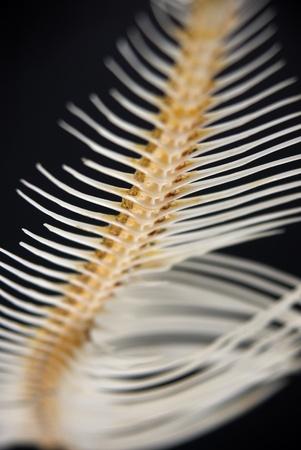 Close up of a fishbone, shallow DOF, isolated on black. Stock Photo - 8469452