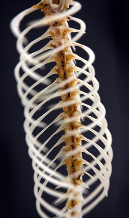 Close up of a fishbone, on a black background. Stock Photo - 8469420