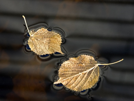 floating on water: Lime leaves in a puddle with thin ice