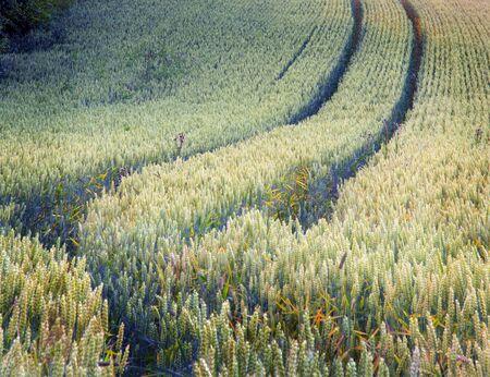 wheatfield: Wheatfield with wheel tracks.