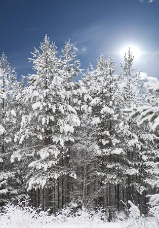 conifer: Forest with pine trees covered in snow with blue sky