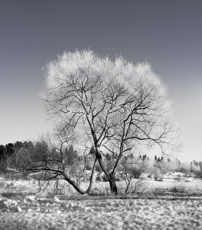 hoar frost: bare tree with hoar frost on a sunny winter day
