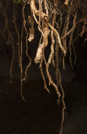 Close up of roots of tree with dark background