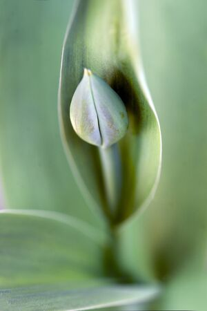april flowers: Close up of tulip bud on green background