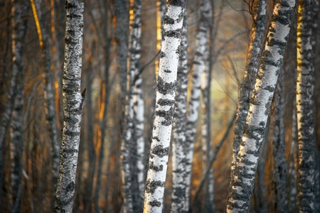 Bare birch trees at sunset in spring