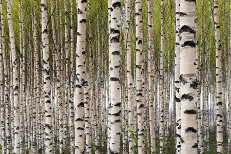 white birch tree: Grove of birch trees with green leaves in spring