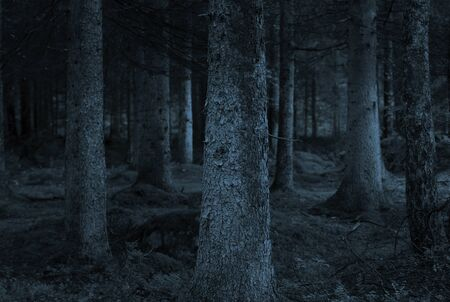 Spooky forest with conifers in shades of blue  photo