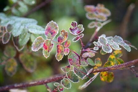 rose bush: Frozen leaves of rose bush in autumn