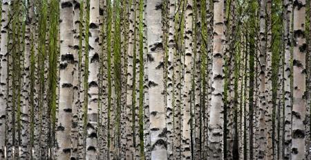 foret de bouleaux: Bosquet de bouleaux avec green laisse au printemps