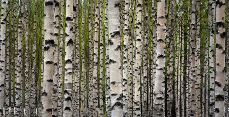 bark: Grove of birch trees with green leaves in spring