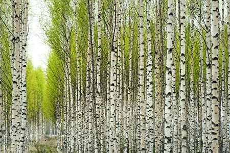bark background: Birch trees with fresh green leaves in spring Stock Photo