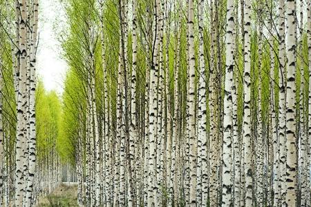 foret de bouleaux: Bouleaux avec des feuilles vertes fra�ches au printemps Banque d'images