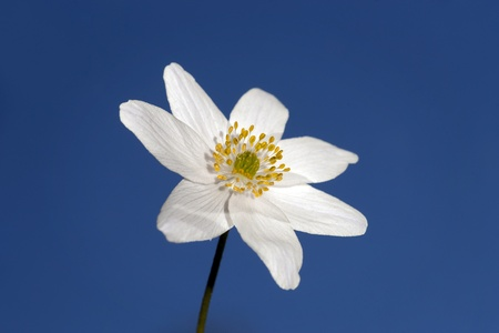 windflower: Anemone nemorosa (windflower) on bright clear blue sky Stock Photo