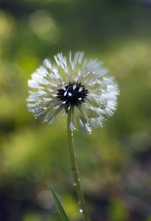 close up of dandelion with seeds after rain photo