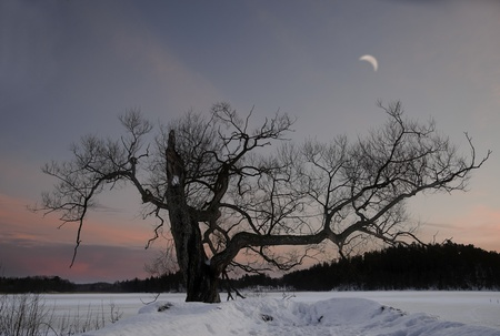 bare tree in winter evening with colorful sky photo