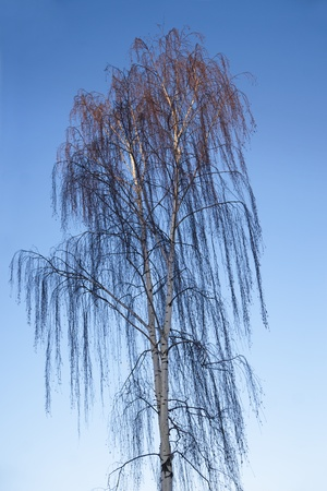 betula pendula: Bare weeping birch on clear blue winter sky