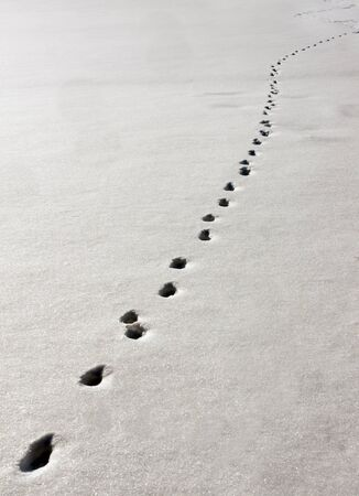 Track in snow made by animal photo