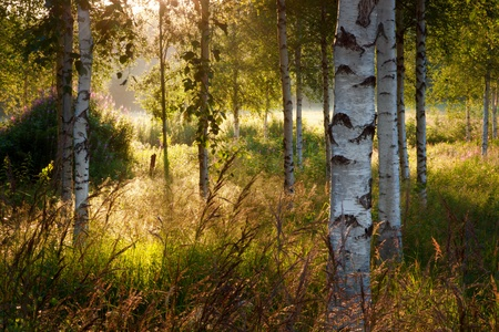 Birch trees in summer landscape