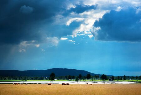 Rural landscape with herd of grazing cows under rain cloud photo