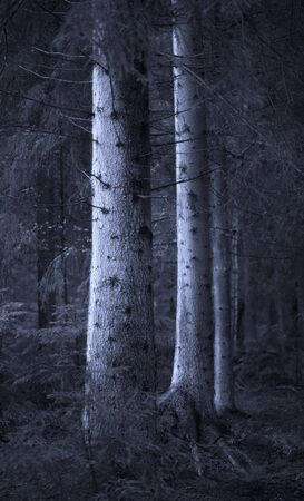 Big spruce trees in  blue forest in evening light photo
