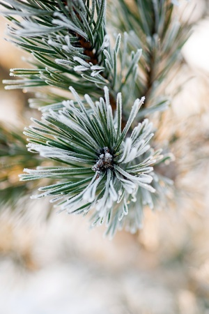 rime frost: Close up of pine needles with rime frost Stock Photo