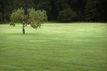 Lone apple tree in green field photo