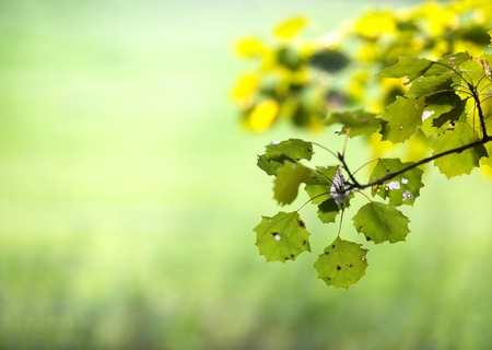 Aspen leaves in late summer on smooth green background photo