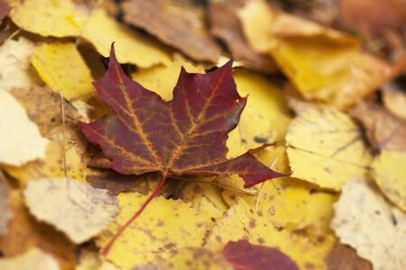 Close up of maple leaf on ground in fall photo