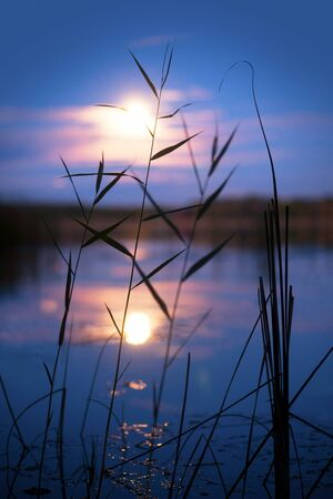 Reeds in moonshine photo