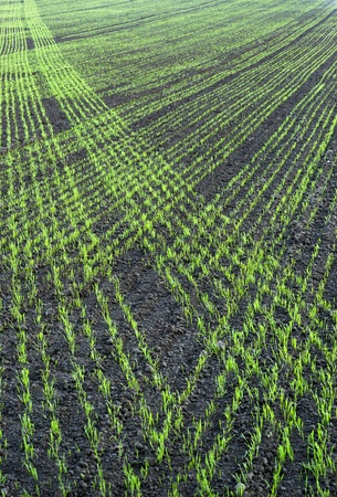 Plowed field with small green plants in regular patterns photo