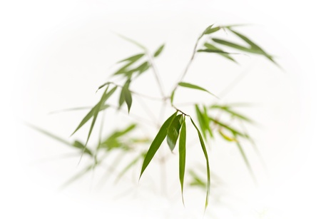 sparse: Sparse image of fresh bamboo on white background