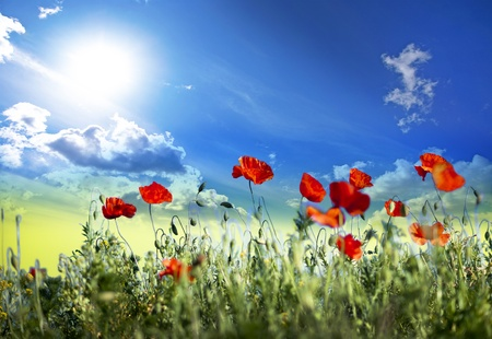 Field of red wild poppies with blue and yellow sky