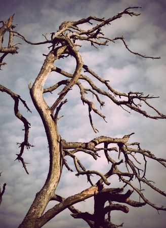 Silhouette of a dry old dead tree