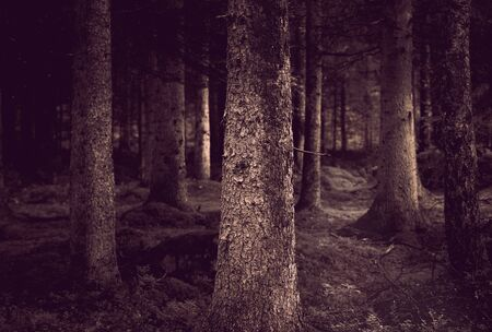 Spooky forest with conifers in sepia  photo
